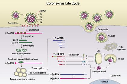Впервые расшифрован полный геном коронавируса